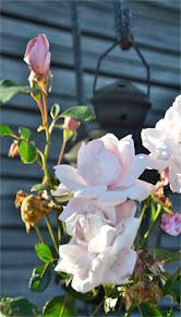 Ålskar rosor!