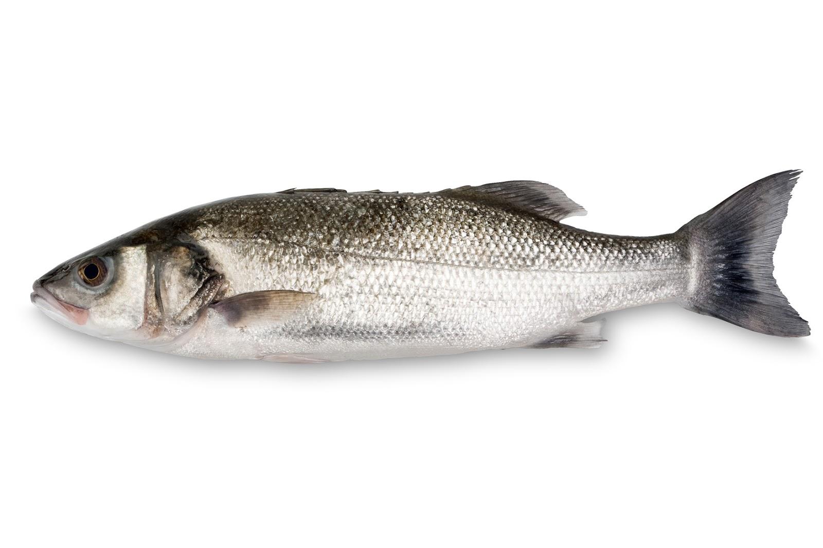 asturpeskin la lubina y su pesca