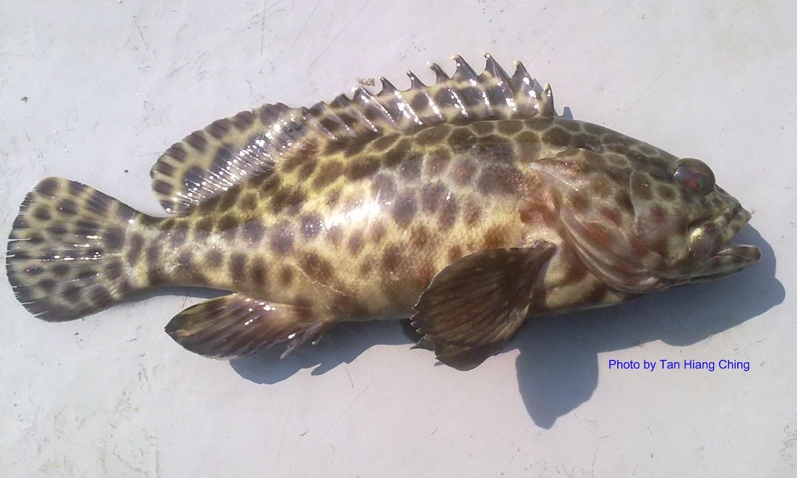 Groupers Talk About Fish Grey Giant Trevally Hitam M Scientific Name Epinephelus Sexfasciatus Valenciennes 1828 English Sixbar Grouper Garoupa Mandarin Sh Bn Y Num