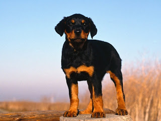 Doberman Pinscher Puppy Picture