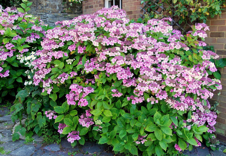 Ortensie Sul Balcone : Il mondo in un giardino adorabili ortensie