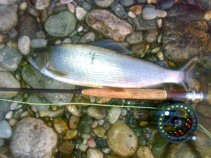 Grayling from Drina