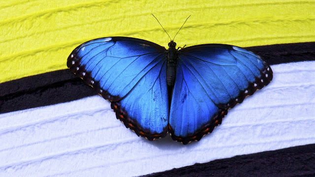 Papillon Butterfly HD Wallpaper