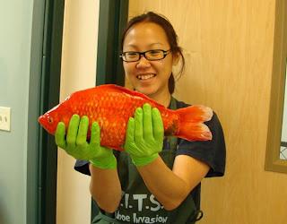 poisson rouge geant du lac tahoe