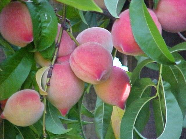 Sảy thai vì một số loại hoa quả