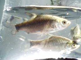 Info Teknik Pembenihan ikan Tawes