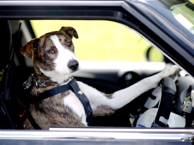 Dogs Trained To Drive Cars