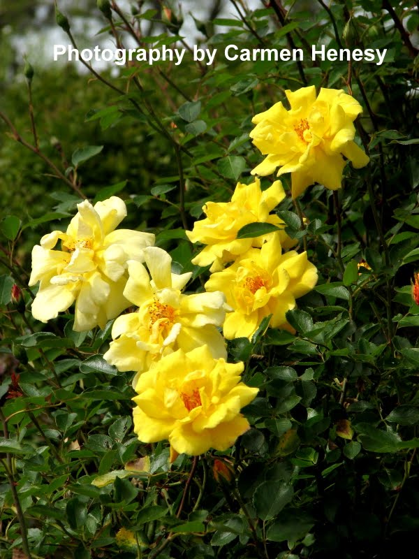 ... Chronicles: Mellow Yellow Monday #120, Yellow Rose Pair, May 9, 2011