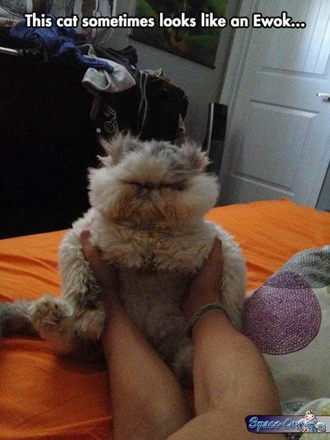 funny animals ewok cat