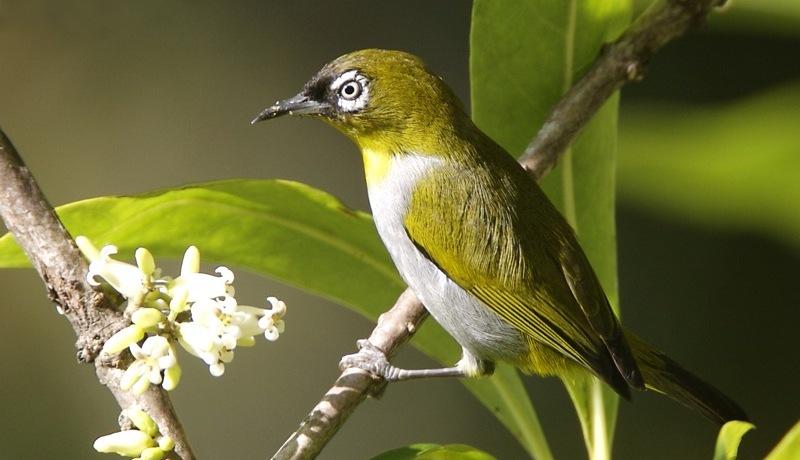 Suara Pleci Betina Gacor Untuk Pancingan dan Masteran Burung
