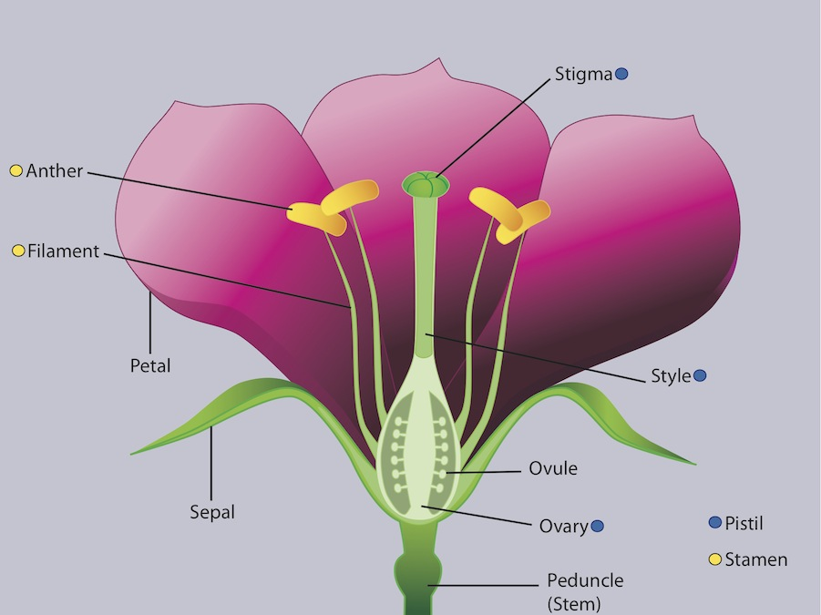 Don di fiore illustrations flower anatomy flower anatomy ccuart