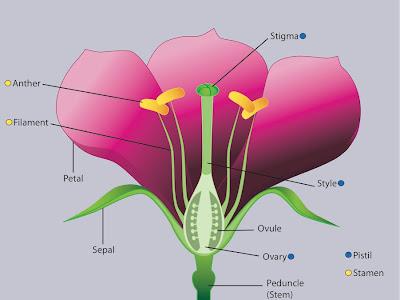 Anatomy of the flower