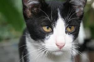jenis kucing peliharaan,persia termahal,hutan,bengal,garfield,anggora,