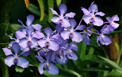 Flores de color violeta en Myanmar