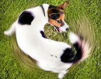 Por qué los perros persiguen sus colas