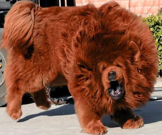 Mongolian Bankhar Dog For Sale