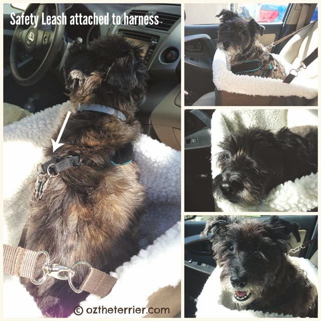 Oz the Terrier riding in Tagalong Pet Booster Seat by Solvit Products