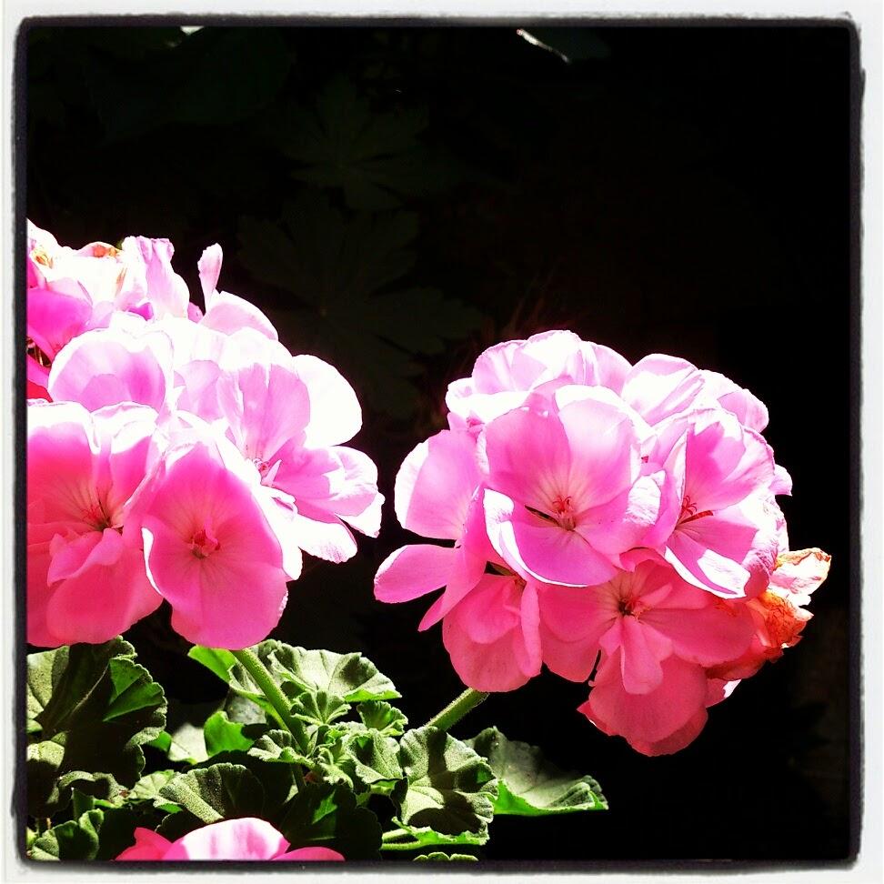 byHaafner, pelargonium, flowers, pink