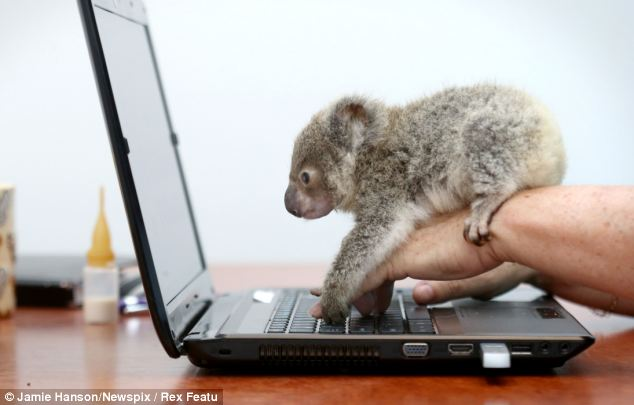 Orphaned baby koala was found on a roadside in Brisbane, Raymond the abandoned baby koala, baby koala pictures