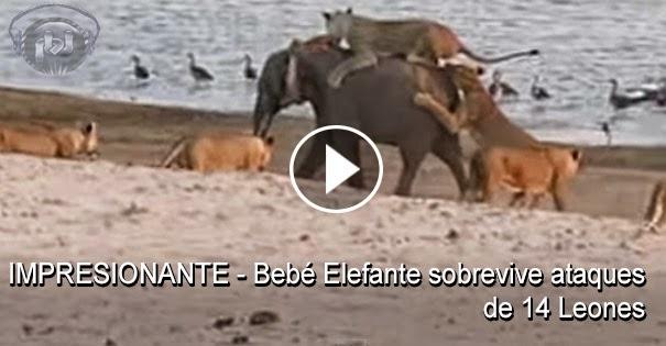 VIDEO IMPRESIONANTE - Bebé Elefante sobrevive ataque de 14 leones