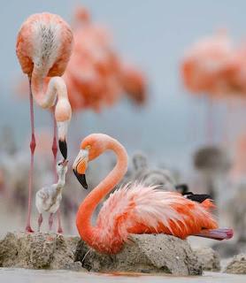 Foto Burung Flamingo Kasih Makan Anaknya