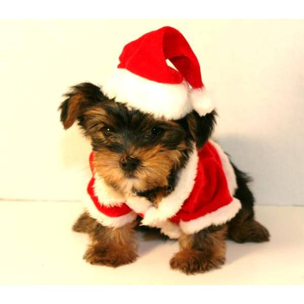 Cute Christmas puppy.