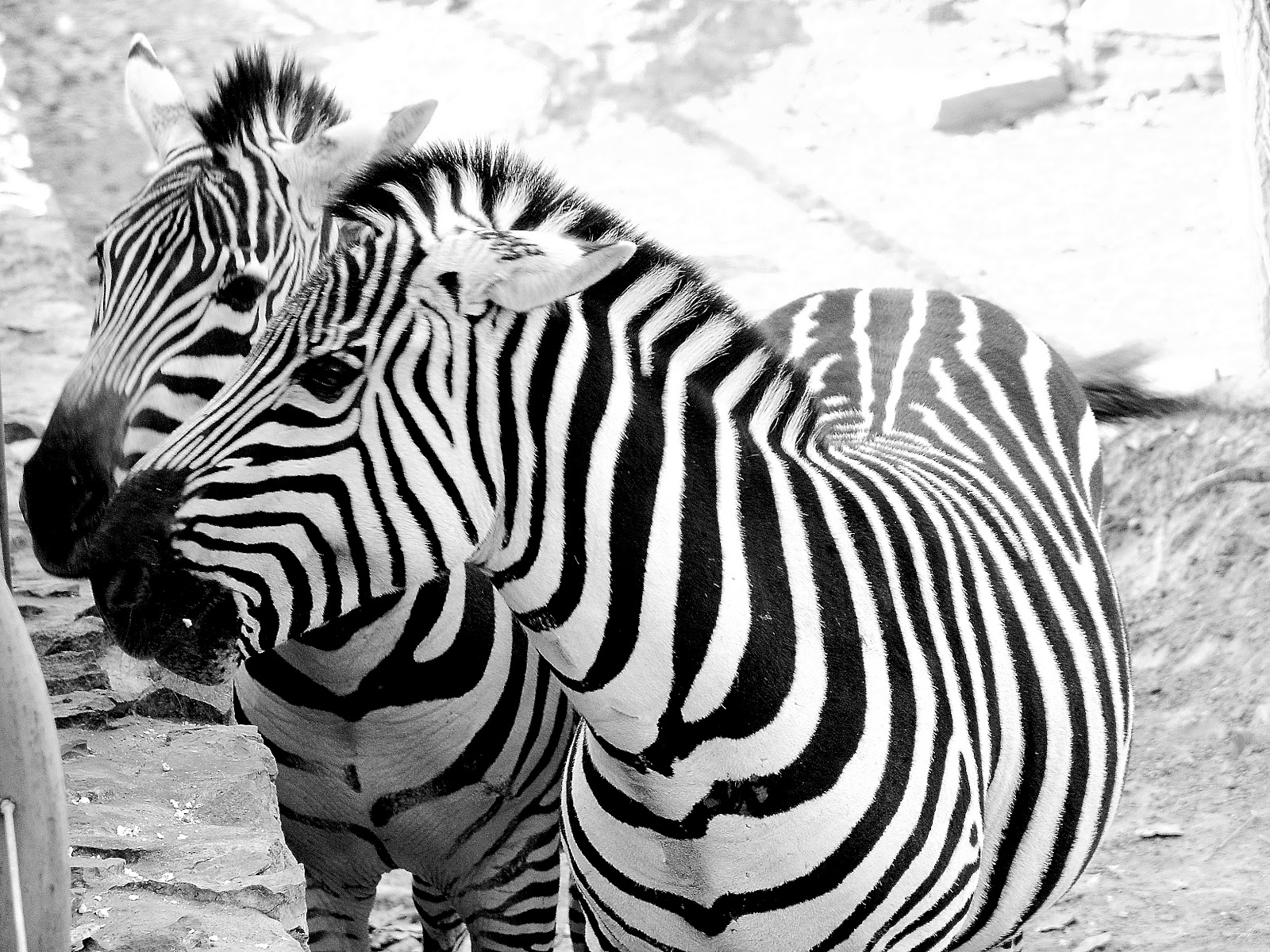 Zebra | HD Wallpapers ...