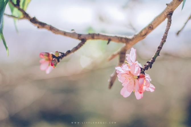 fotografia cerezo flor