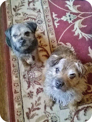 Two border terrier dogs, Ted and Tiny, look up into the camera whilst sitting.