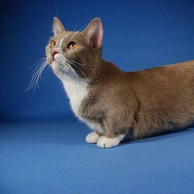 The Munchkin Cat