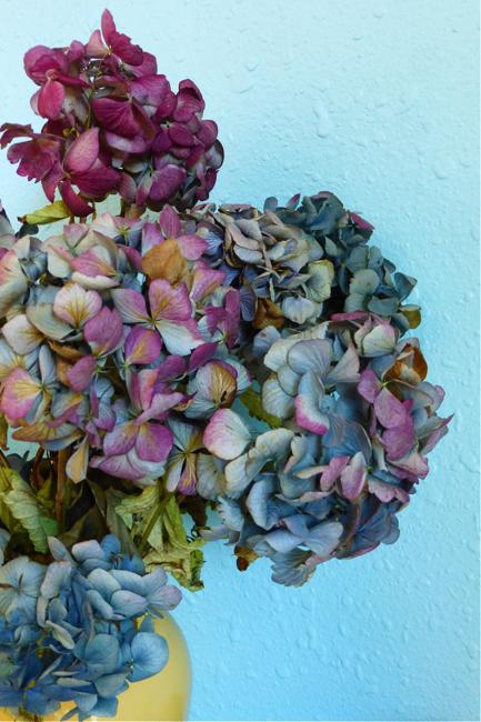 hydrangea, hydrangeas, hydrangeas drying, dried hydrangea