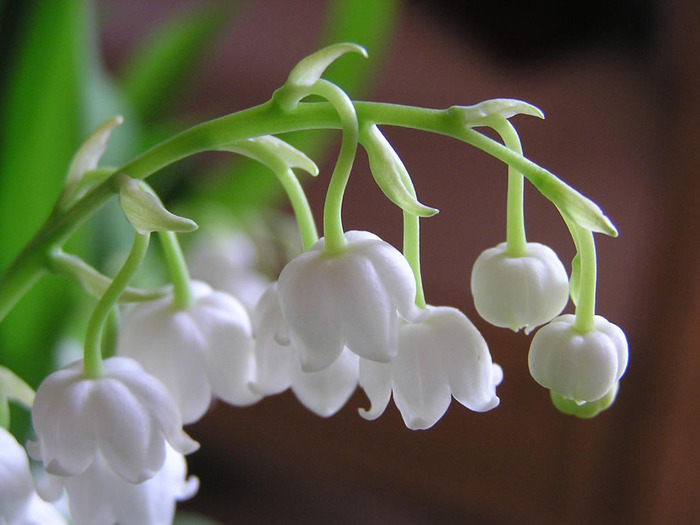 The Name Lily Of Valley Is Used In Some English Translations Song Songs 2 1 But Hebrew Phrase Shoshannat Ha Amaqim