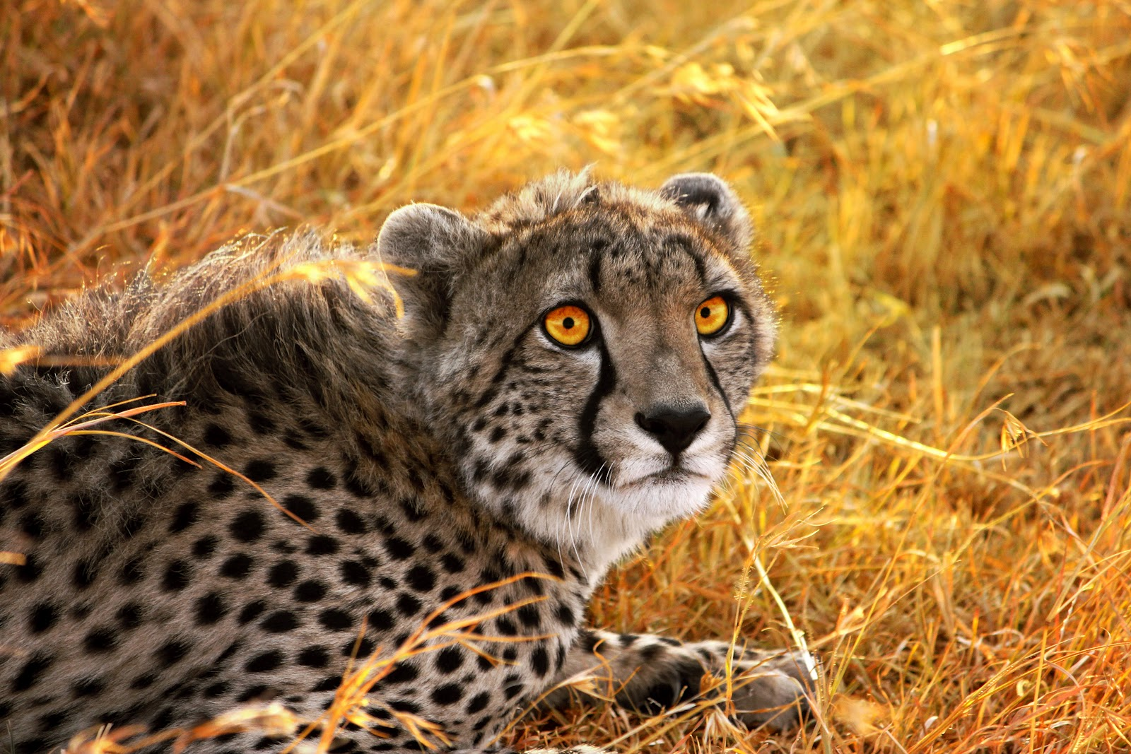 the spotted canvas yellow cheetah background