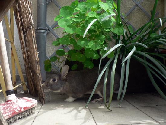 La dure vie du lapin urbain samedi sur le balcon - A quel moment faut il tailler les pruniers ...