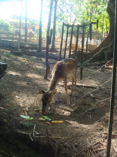the deer in zoobic safari