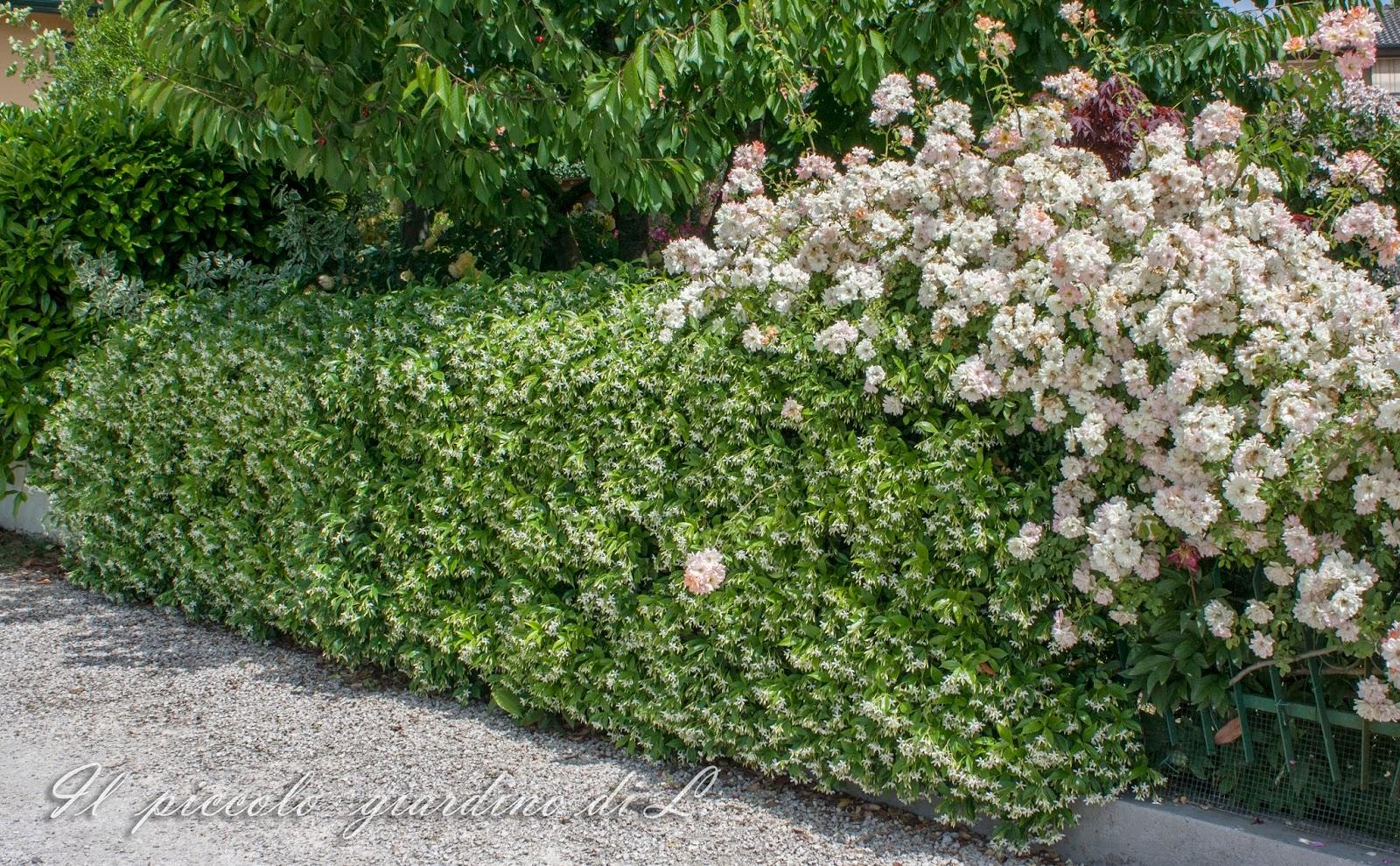 il piccolo giardino di l.: un alleato per i piccoli giardini: il ... - Siepe Da Giardino Piccolo
