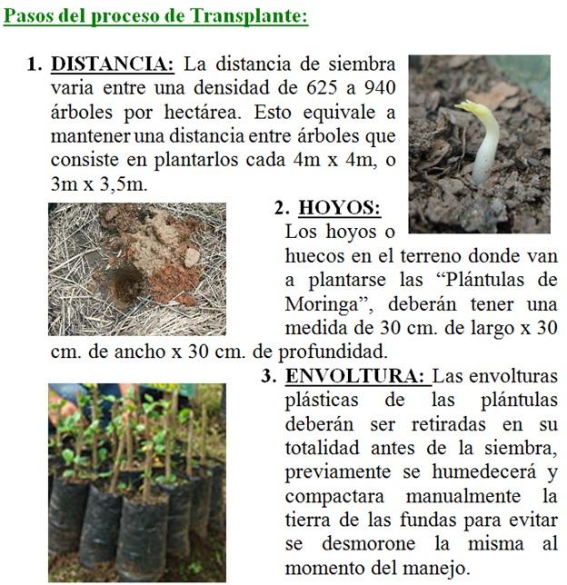 Ecuador como sembrar el 193 rbol de la vida moringa ole 237 fera