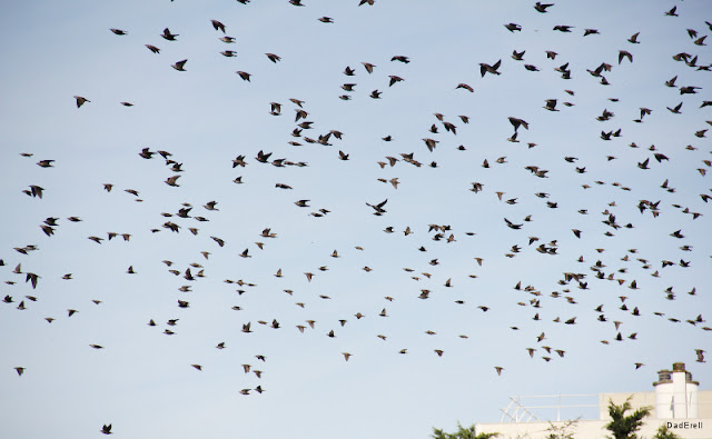 Vol d'étourneaux en migration.