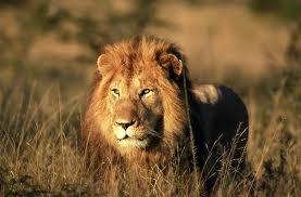 Serius : Dibaham Singa Ketika Berasmara Di Kawasan Belukar (2 Gambar)