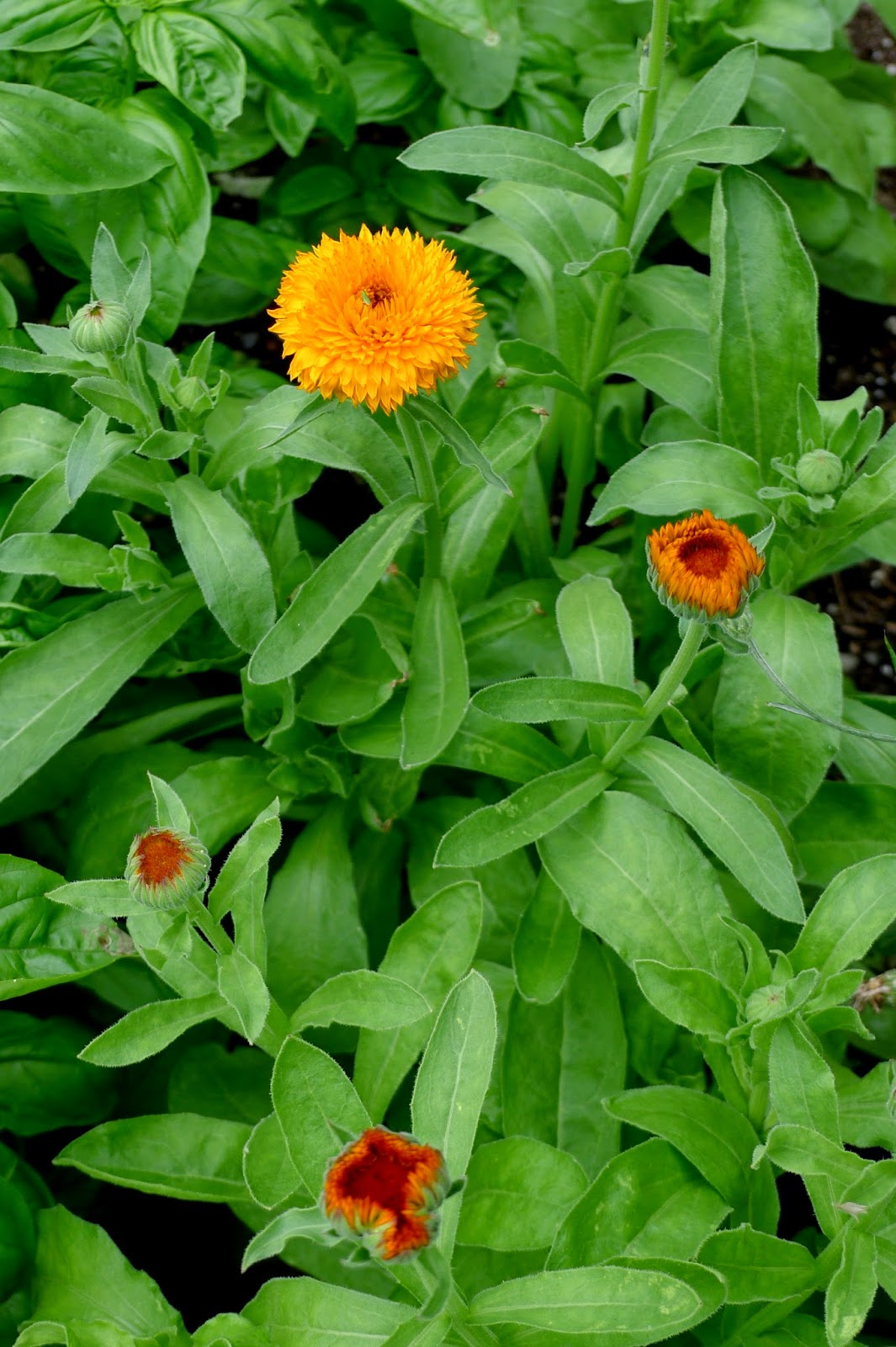 Less noise, More Green Edible Landscape Project: Calendula-Neon, Calendula officinalis, annual, edible flower