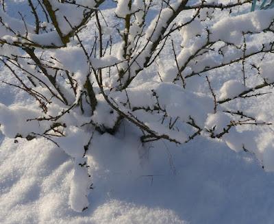 Gartenrundgang Januar - Jostabeeren