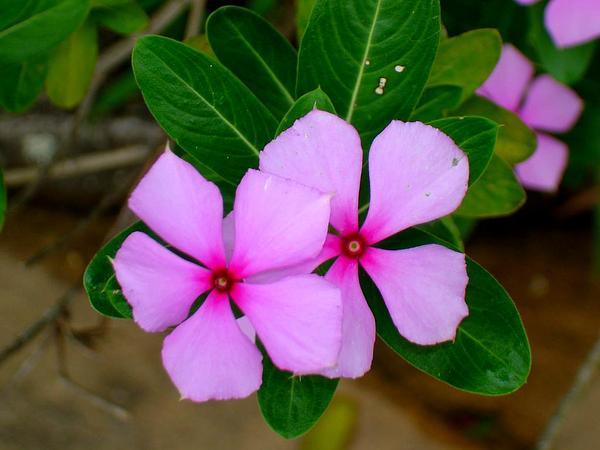 Periwinkle Flower Periwinkle Flower
