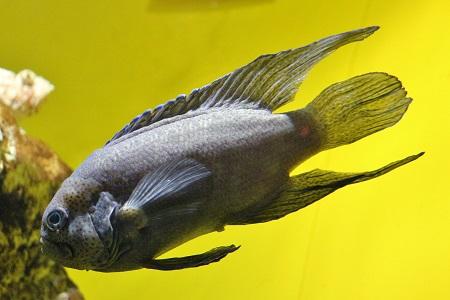 Paraplesiops meleagris