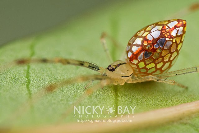 Thwaitesia sp (mirror spider), photo taken in singapore