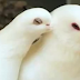 Doves and Pigeons: Good practice for housing  and how to care
