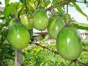 manfaat buah markisa, khasiat buah markisa, buah markisa banyak gizi
