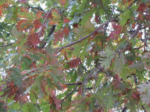 white oak leaves in fall