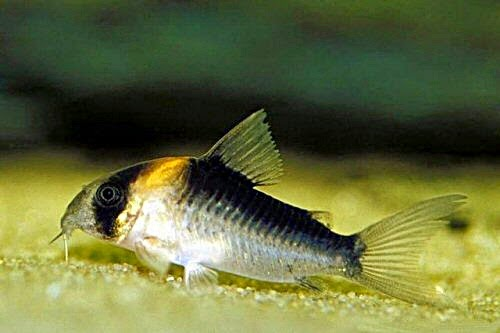 51. Tailspot corydoras