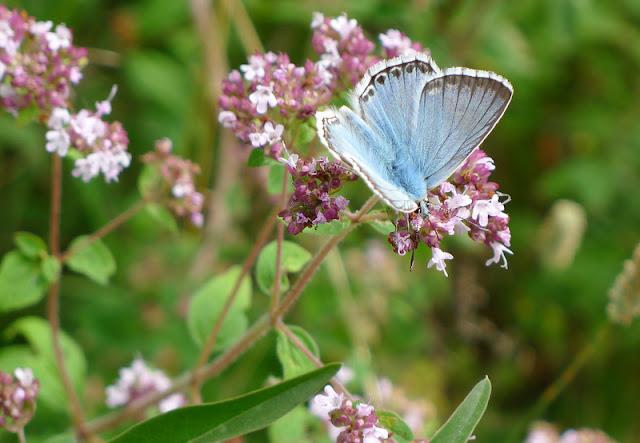 Polyommatus coridon,chalkhill Blue, male