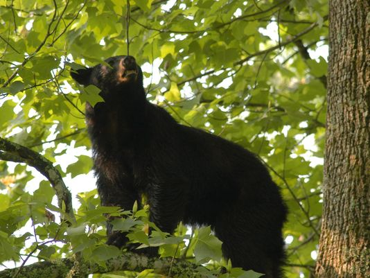 Perhaps my most favorite bear sighting (includes video)